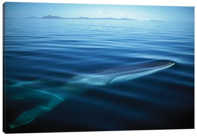 Fin Whale Resident Adult At Winter Feeding Grounds, Sea Of Cortez, Baja California, Mexico Canvas Art Print