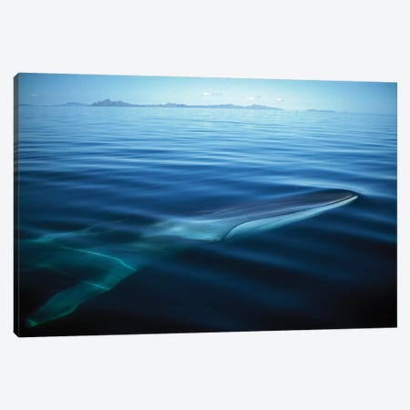 Fin Whale Resident Adult At Winter Feeding Grounds, Sea Of Cortez, Baja California, Mexico Canvas Print #TUI32} by Tui De Roy Canvas Art