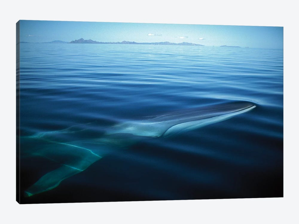 Fin Whale Resident Adult At Winter Feeding Grounds, Sea Of Cortez, Baja California, Mexico by Tui De Roy 1-piece Art Print