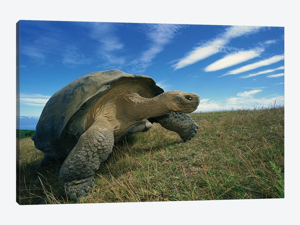Galapagos Giant Tortoise Old Male In Dry Season On Caldera Rim, Alcedo Volcano, Isabella Island, Galapagos Islands, Ecuador by Tui De Roy 1-piece Canvas Art