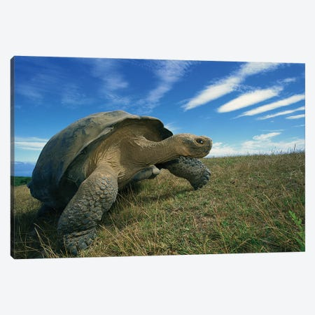 Galapagos Giant Tortoise Old Male In Dry Season On Caldera Rim, Alcedo Volcano, Isabella Island, Galapagos Islands, Ecuador Canvas Print #TUI33} by Tui De Roy Canvas Art