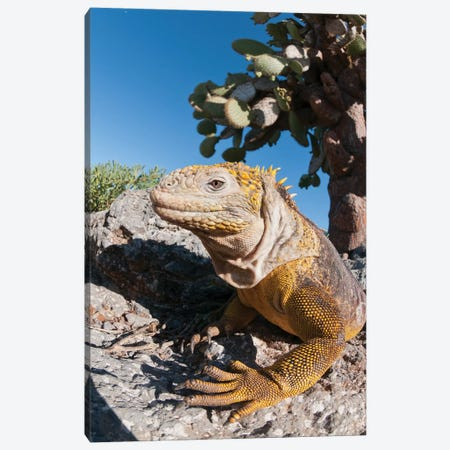 Galapagos Land Iguana Basking, Galapagos Islands, Ecuador Canvas Print #TUI35} by Tui De Roy Art Print