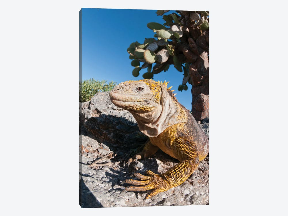 Galapagos Land Iguana Basking, Galapagos Islands, Ecuador 1-piece Canvas Artwork
