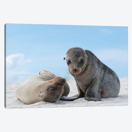 Galapagos Sea Lion Female And Pup, Galapagos Islands, Ecuador Canvas Print #TUI37} by Tui De Roy Canvas Print