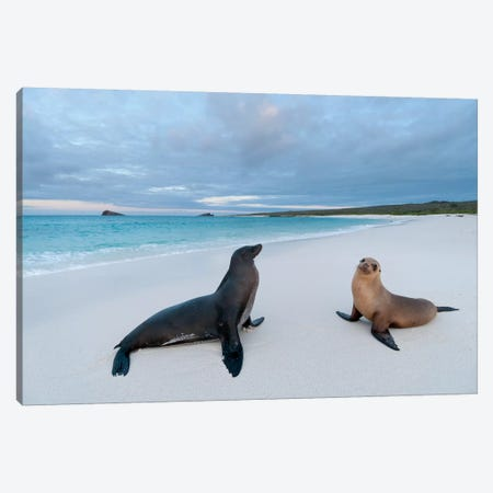 Galapagos Sea Lion Pair On Beach, Galapagos Islands, Ecuador Canvas Print #TUI38} by Tui De Roy Canvas Wall Art