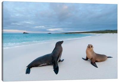 Galapagos Sea Lion Pair On Beach, Galapagos Islands, Ecuador Canvas Art Print