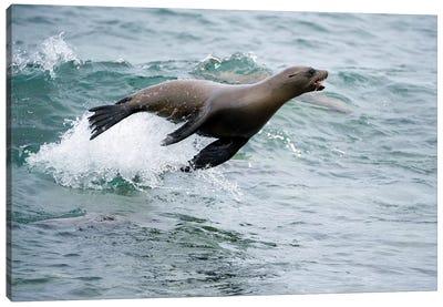 Galapagos Sea Lion Surfing Wave, Mosquera Island, Galapagos Islands, Ecuador Canvas Art Print