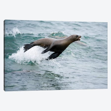 Galapagos Sea Lion Surfing Wave, Mosquera Island, Galapagos Islands, Ecuador Canvas Print #TUI39} by Tui De Roy Canvas Wall Art