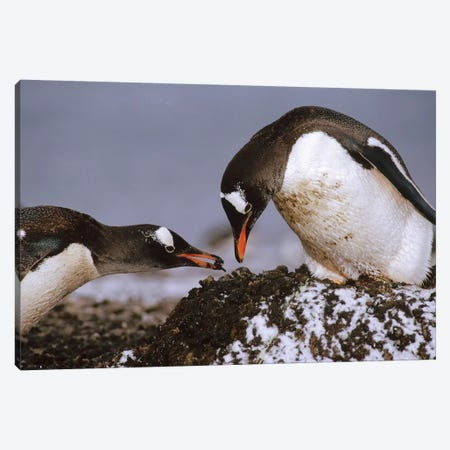 Gentoo Penguin Nesting Adults Rebuild Pebble Nest, Aitcho Island, South Shetland Islands, Antarctica Canvas Print #TUI40} by Tui De Roy Canvas Print