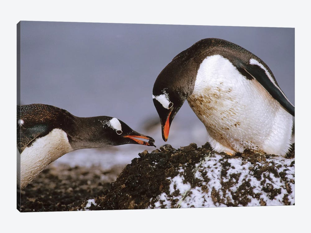 Gentoo Penguin Nesting Adults Rebuild Pebble Nest, Aitcho Island, South Shetland Islands, Antarctica by Tui De Roy 1-piece Canvas Wall Art
