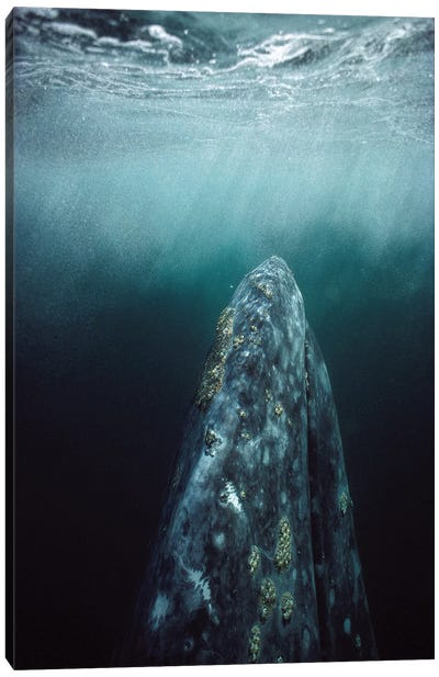 Gray Whale Adult Underwater In Breeding Lagoon, Magdalena Bay, Baja California, Mexico Canvas Art Print