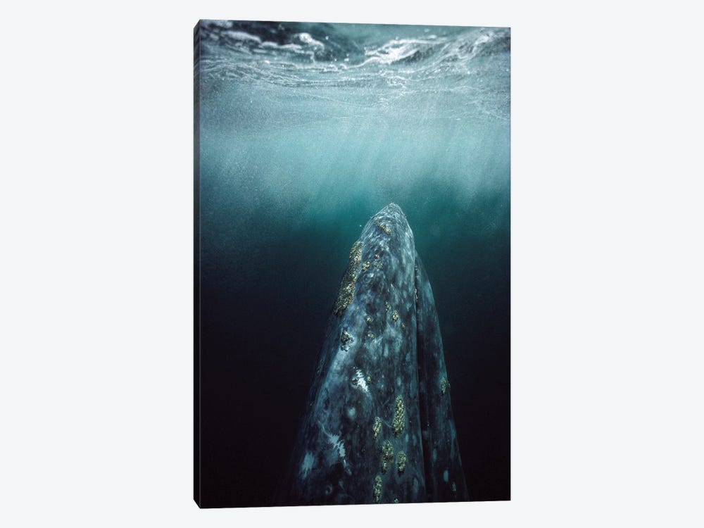 Gray Whale Adult Underwater In Breeding Lagoon, Magdalena Bay, Baja California, Mexico by Tui De Roy 1-piece Canvas Artwork
