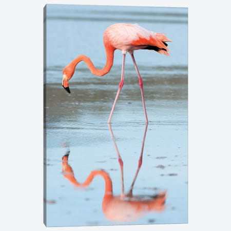 Greater Flamingo Foraging, Galapagos Islands, Ecuador Canvas Print #TUI44} by Tui De Roy Canvas Art