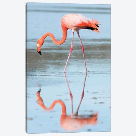 Greater Flamingo Foraging, Galapagos Islands, Ecuador Canvas Print #TUI44} by Tui De Roy Canvas Art