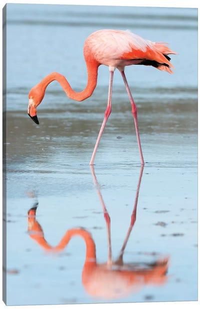 Greater Flamingo Foraging, Galapagos Islands, Ecuador Canvas Art Print