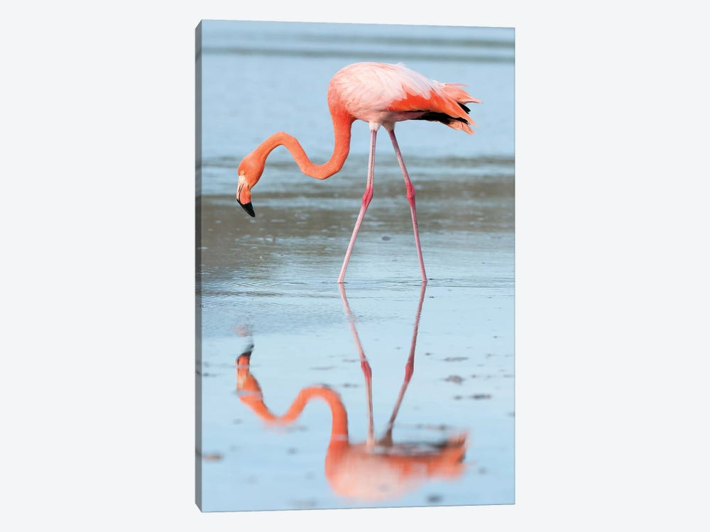 Greater Flamingo Foraging, Galapagos Islands, Ecuador by Tui De Roy 1-piece Canvas Artwork