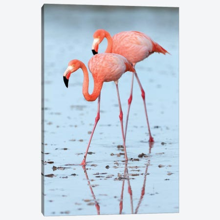 Greater Flamingo Pair Wading, Galapagos Islands, Ecuador Canvas Print #TUI46} by Tui De Roy Canvas Artwork