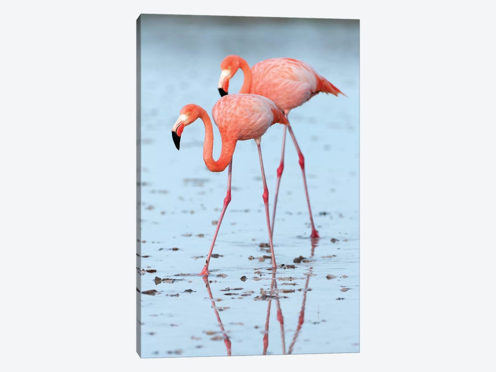 Greater Flamingo Pair Wading, Galapagos Islands, Ecuador by Tui De Roy 1-piece Canvas Wall Art