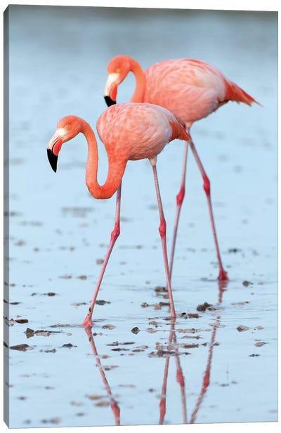 Greater Flamingo Pair Wading, Galapagos Islands, Ecuador Canvas Art Print