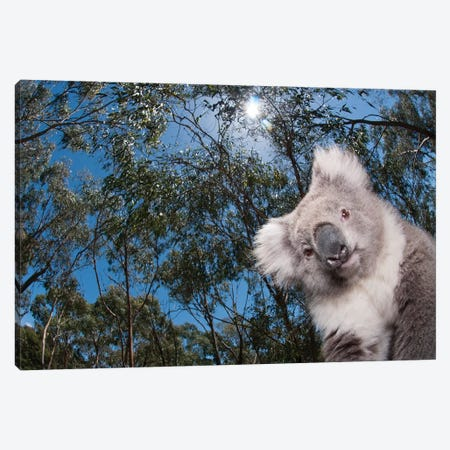Koala In Gum Tree Forest, Victoria, Australia Canvas Print #TUI49} by Tui De Roy Art Print