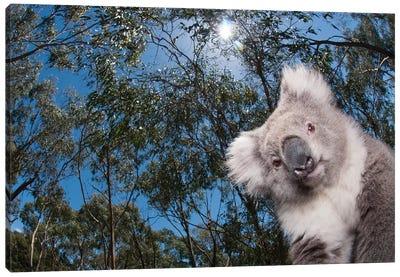 Koala In Gum Tree Forest, Victoria, Australia Canvas Art Print