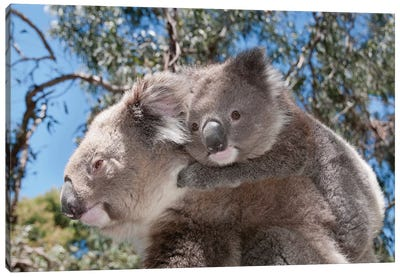 Koala Mother Carrying Young In Gum Tree Forest, Victoria, Australia Canvas Art Print