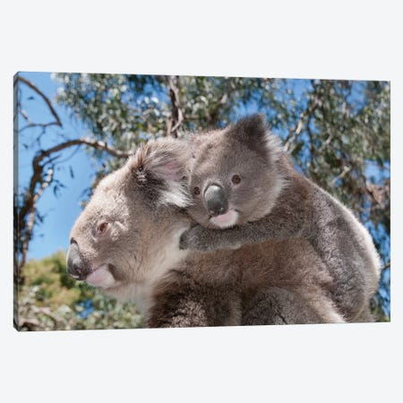 Koala Mother Carrying Young In Gum Tree Forest, Victoria, Australia Canvas Print #TUI50} by Tui De Roy Canvas Wall Art