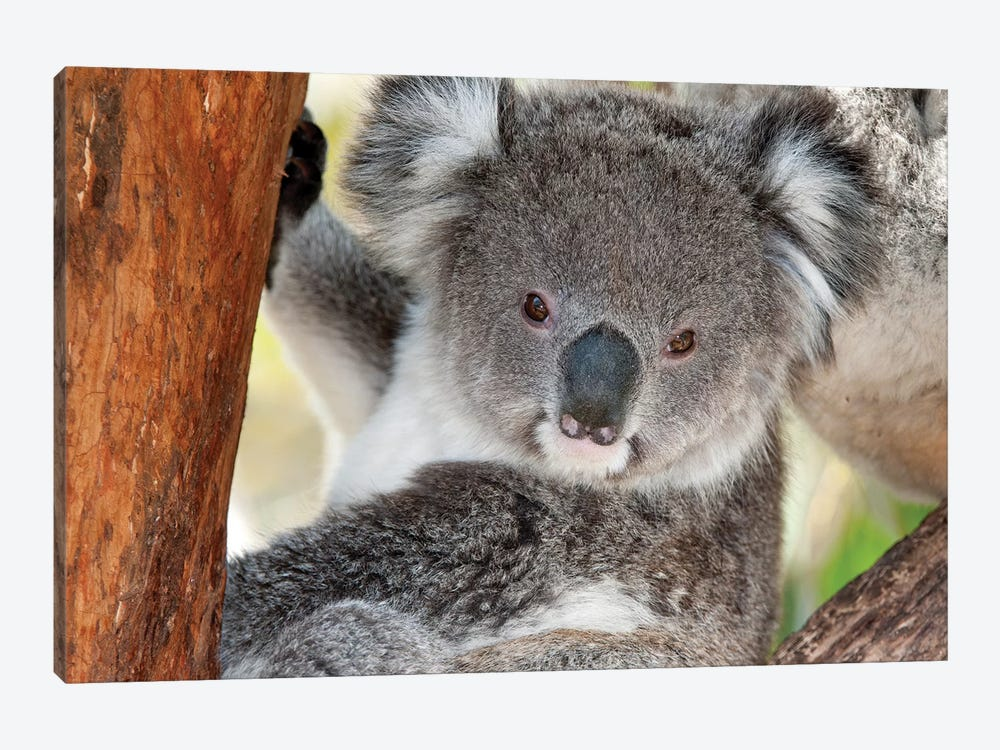 Koala, Victoria, Australia by Tui De Roy 1-piece Canvas Wall Art