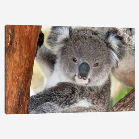 Koala, Victoria, Australia Canvas Print #TUI51} by Tui De Roy Canvas Wall Art