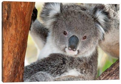 Koala, Victoria, Australia Canvas Art Print