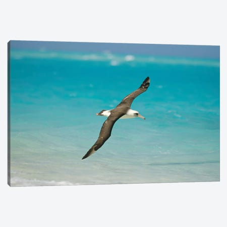 Laysan Albatross Navigating Across Ocean From North Pacific Feeding Grounds To Breeding Colony, Midway Atoll, Hawaii Canvas Print #TUI52} by Tui De Roy Canvas Wall Art
