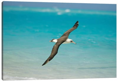 Laysan Albatross Navigating Across Ocean From North Pacific Feeding Grounds To Breeding Colony, Midway Atoll, Hawaii Canvas Art Print