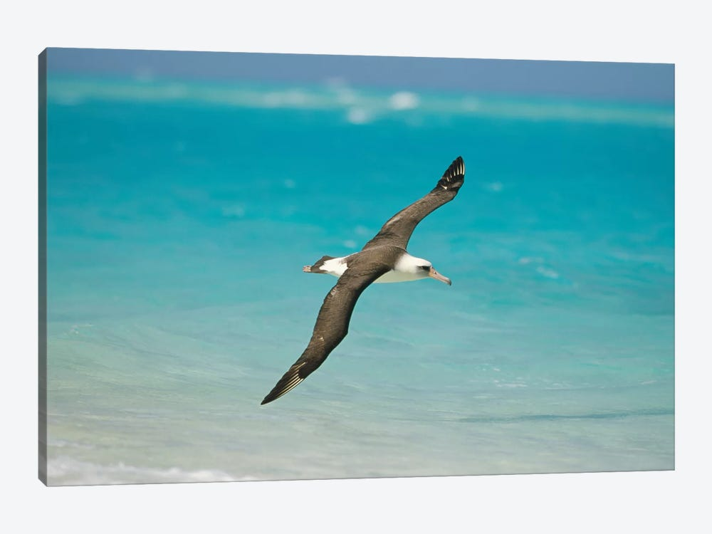 Laysan Albatross Navigating Across Ocean From North Pacific Feeding Grounds To Breeding Colony, Midway Atoll, Hawaii by Tui De Roy 1-piece Canvas Print