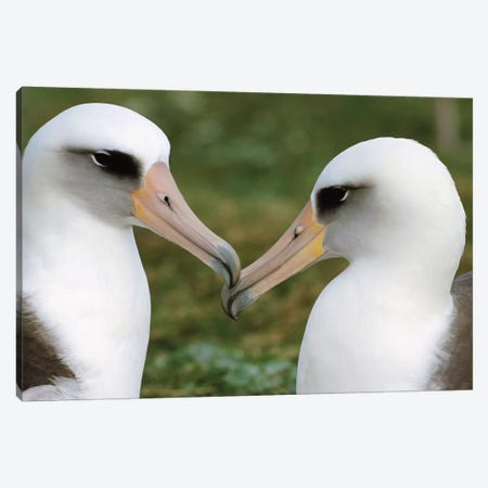 Laysan Albatross Pair Bonding, Midway Atoll, Hawaii I Canvas Print #TUI53} by Tui De Roy Canvas Wall Art