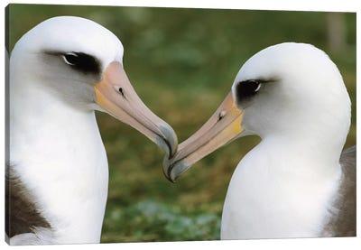 Laysan Albatross Pair Bonding, Midway Atoll, Hawaii I Canvas Art Print