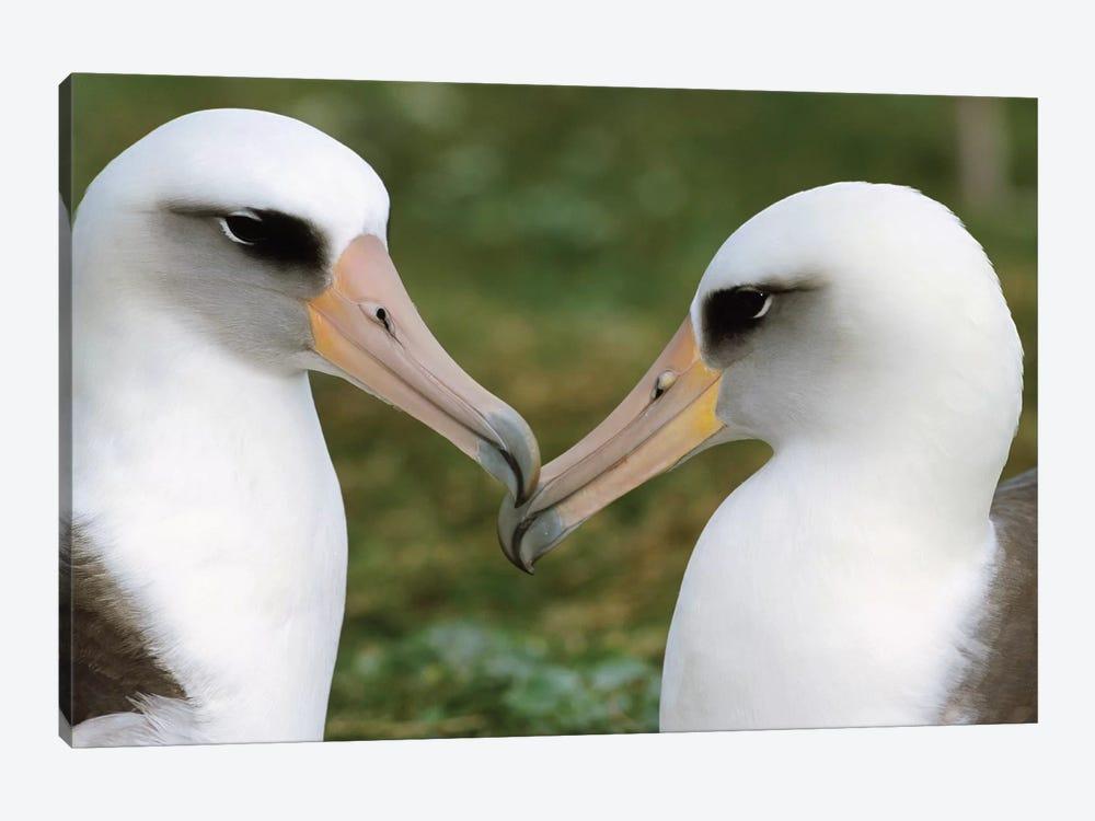 Laysan Albatross Pair Bonding, Midway Atoll, Hawaii I by Tui De Roy 1-piece Canvas Art