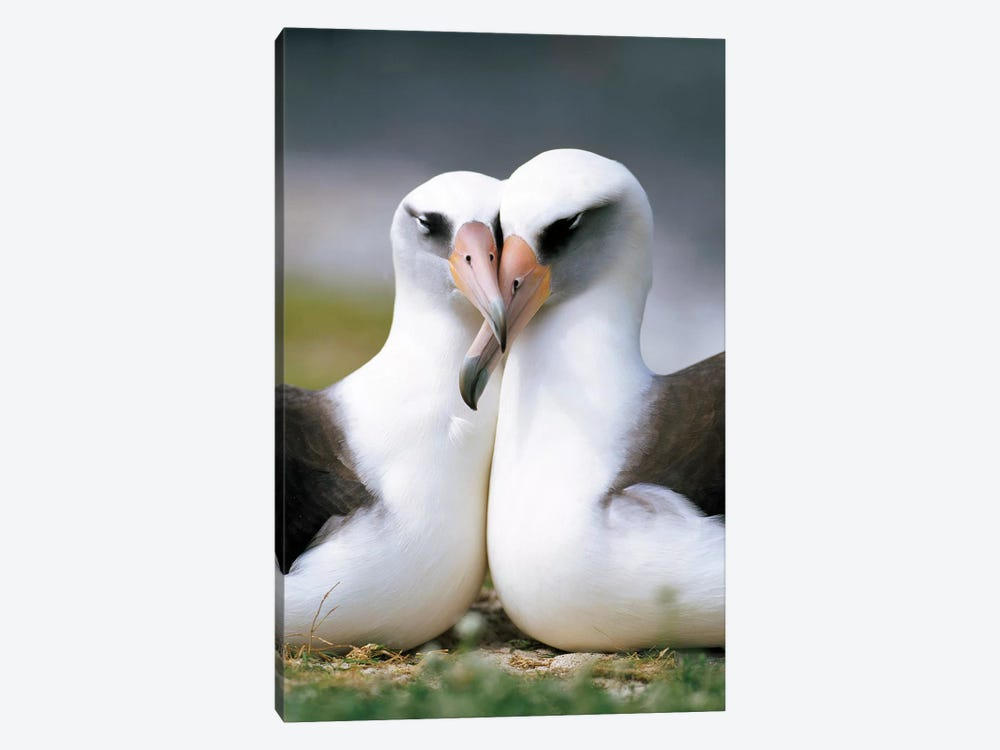 Laysan Albatross Pair Bonding, Midway Atoll, Hawaii II by Tui De Roy 1-piece Canvas Print