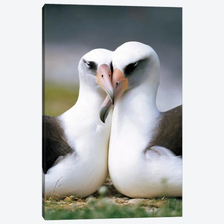 Laysan Albatross Pair Bonding, Midway Atoll, Hawaii II Canvas Print #TUI54} by Tui De Roy Art Print