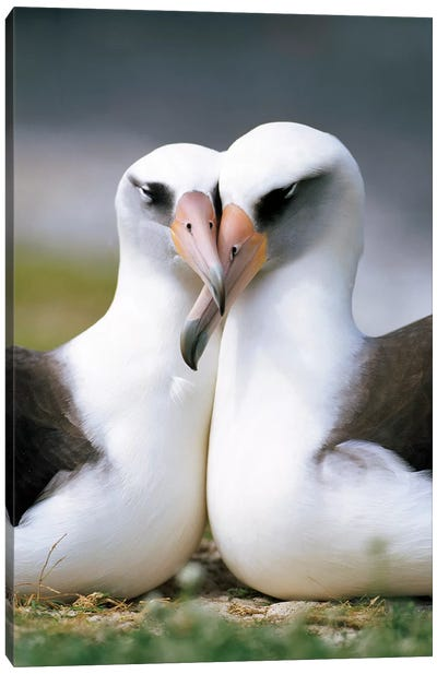 Laysan Albatross Pair Bonding, Midway Atoll, Hawaii II Canvas Art Print