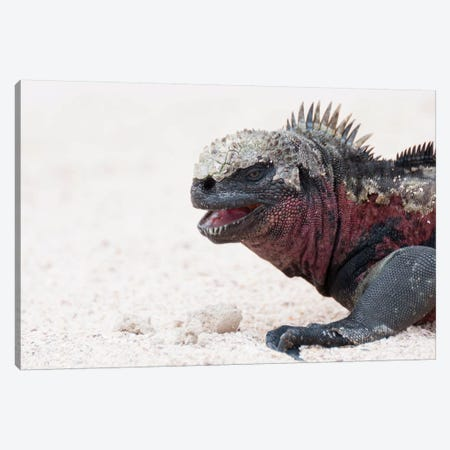 Marine Iguana, Galapagos Islands, Ecuador Canvas Print #TUI56} by Tui De Roy Canvas Art Print