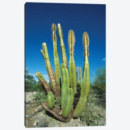 Old Man Cactus In Sonoran Desert Landscape, Baja California, Mexico Canvas Print #TUI57} by Tui De Roy Canvas Art Print