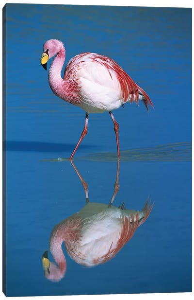 A Wading Puna Flamingo And Its Reflection, Laguna Colorada, Andean Altiplano, Bolivia Canvas Art Print