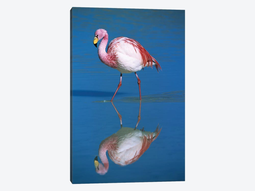A Wading Puna Flamingo And Its Reflection, Laguna Colorada, Andean Altiplano, Bolivia by Tui De Roy 1-piece Canvas Art Print