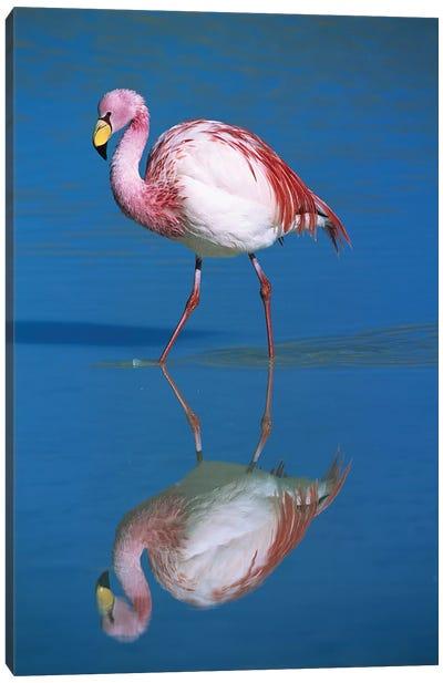 A Wading Puna Flamingo And Its Reflection, Laguna Colorada, Andean Altiplano, Bolivia Canvas Art Print