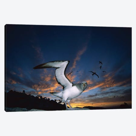 Salvin's Albatross Returning To Crowded Nesting Colony At Sunset, Proclamation Island, Bounty Islands, New Zealand Canvas Print #TUI59} by Tui De Roy Canvas Art