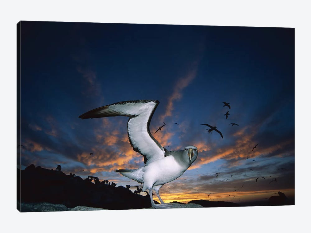 Salvin's Albatross Returning To Crowded Nesting Colony At Sunset, Proclamation Island, Bounty Islands, New Zealand by Tui De Roy 1-piece Canvas Wall Art