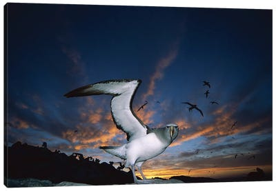 Salvin's Albatross Returning To Crowded Nesting Colony At Sunset, Proclamation Island, Bounty Islands, New Zealand Canvas Art Print