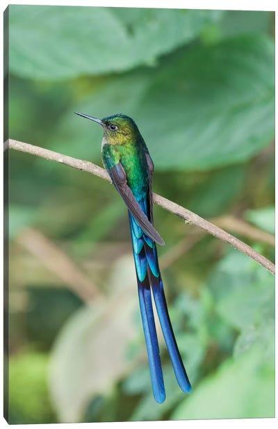 Violet-Tailed Sylph Hummingbird Male, Bellavista Cloud Forest Reserve, Ecuador Canvas Art Print