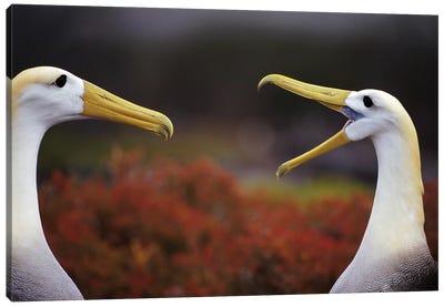 Waved Albatross Courtship Display Sequence, Punta Cevallos, Espanola Island, Galapagos Islands, Ecuador Canvas Art Print