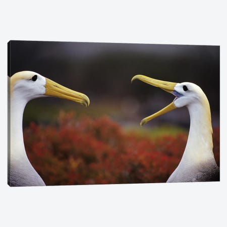 Waved Albatross Courtship Display Sequence, Punta Cevallos, Espanola Island, Galapagos Islands, Ecuador Canvas Print #TUI61} by Tui De Roy Canvas Print